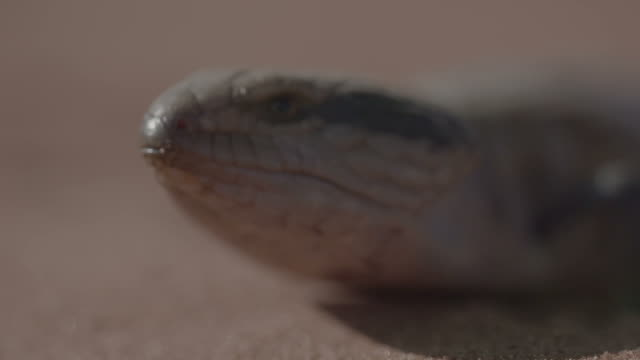 Blue Tongue Lizard - Tiliqua Scincoides video