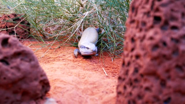 blue tongue lizard a centralian blue tongue lizard emerges from a clump of grass skink stock videos & royalty-free footage