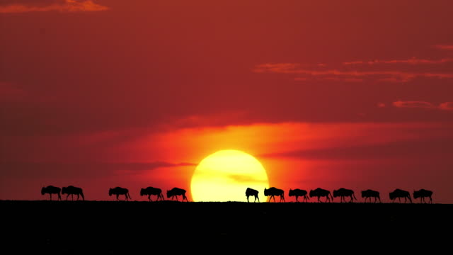 Blue Wildebeest, Connochaetes taurinus at Sunset, Masai Mara Park in Kenya, Real Time 4K video