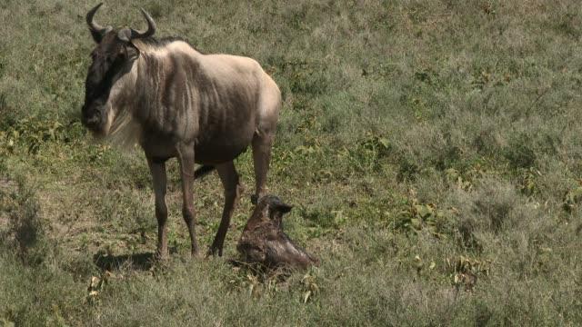 vidéos et rushes de bleu wildebeest femelle donnant naissance. - veau