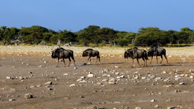 vidéos et rushes de blue wildebeest gnu dans safari animaux sauvages de namibie afrique - plan d'eau
