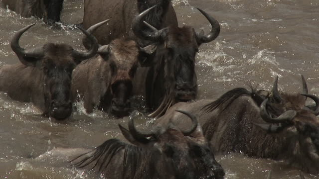 Blue Wildebeest herd migrating, Serengeti N.P., Tanzania.