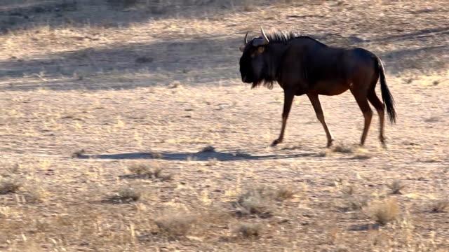 gnus wandern - afrikanische steppe dürre stock-videos und b-roll-filmmaterial