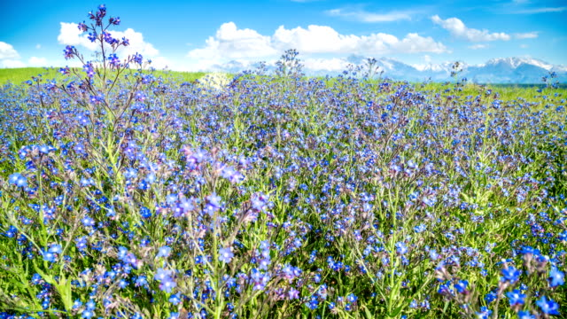 Blue wildflowers wobble against the backdrop of mountains in sunny weather in spring video