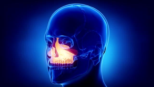 Blue x-ray skull animation - MAxilla - corpus maxillae video