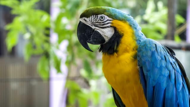 Blue yellow golden macaw parrot. Ara ararauna. video