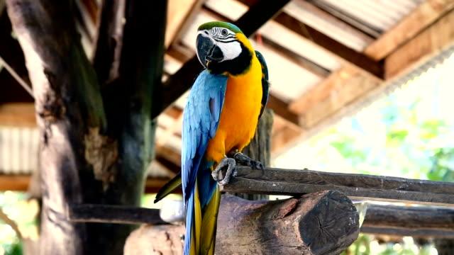 Blue yellow or golden color macaw parrot, Ara ararauna. video