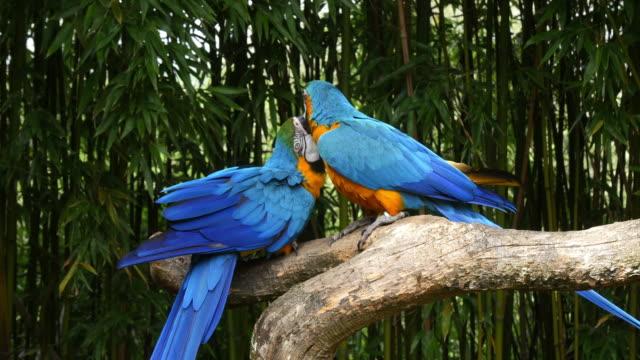 blue-and-yellow macaw, ara ararauna, pair beak in beak, reel time 4k - zachowanie zwierzęcia filmów i materiałów b-roll