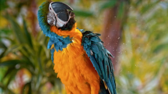 slo mo blue-and-yellow macaw shaking water off while sitting on a branch - трясти стоковые видео и кадры b-roll