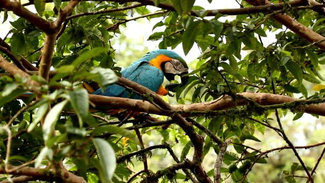Blue-and-yellow Macaw (Ara ararauna) video