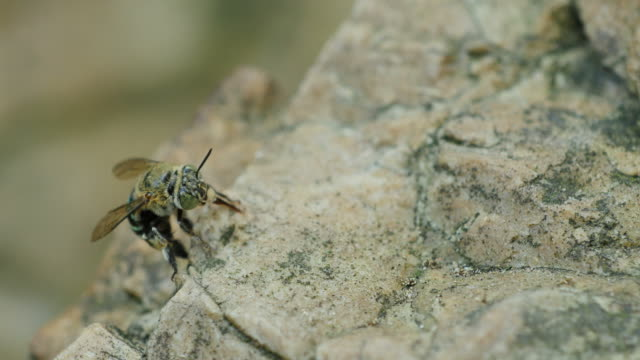 Blau-gestreifter Biene Saugen Mineralien auf rock Flüssen. – Video