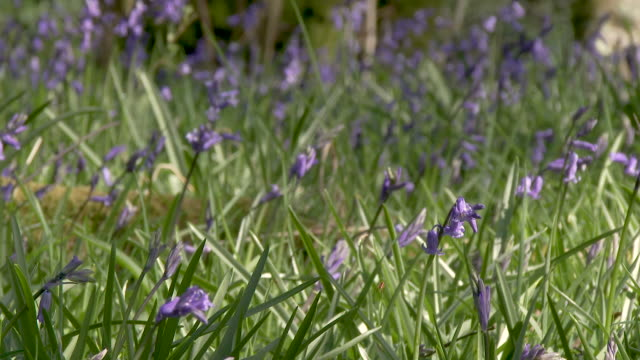 Bluebells in a Scottish woodland A slow pan in a Scottish woodland on a bright spring afternoon. 4K footage shot at 60fps and interpreted at 23.976 to give slow motion galloway scotland stock videos & royalty-free footage