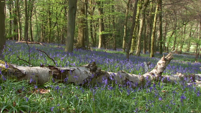 Bluebells (Hyacinthoides non-scripta) video