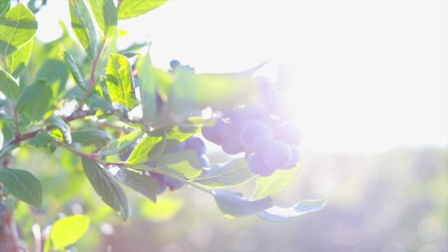 blueberries on the bush