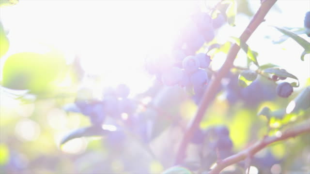blueberries on the bush - дикая растительность стоковые видео и кадры b-roll