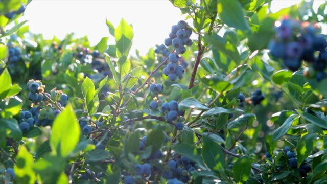 茂みの上のブルーベリー - 自生点の映像素材/bロール