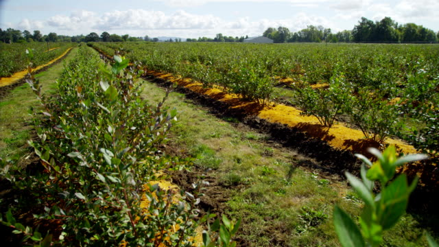 Blueberry Field video