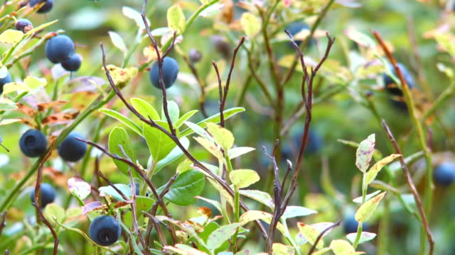 blueberry video