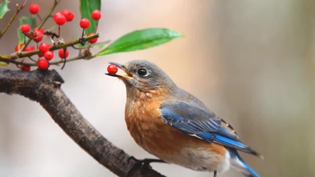 stockvideo's en b-roll-footage met bluebird female - vrouwtjesdier
