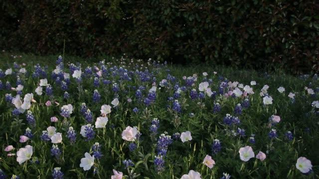 Bluebonnet flowers. video