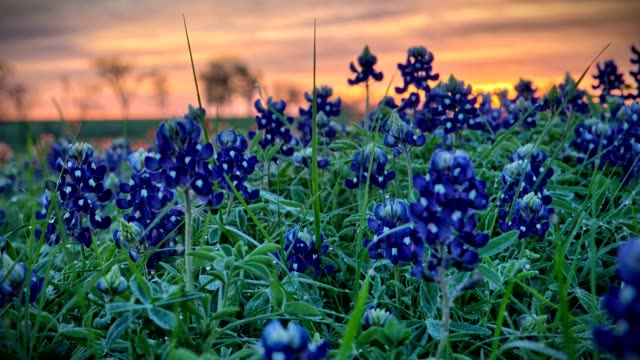 stockvideo's en b-roll-footage met bluebonnet timelapse - texas