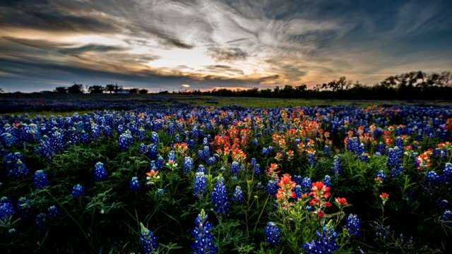 bluebonnet fiore di campo time lapse - fiori video stock e b–roll