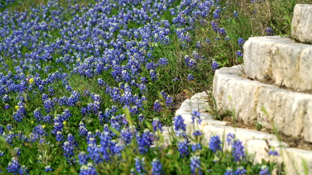 Bluebonnets along highway with brick wall video