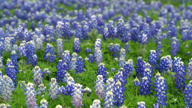 Bluebonnets and Ghost Bluebonnets video