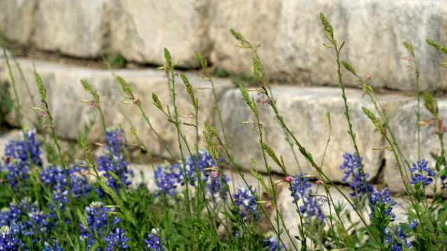 Bluebonnets and Wild Grasses growing next to Brick Wall video