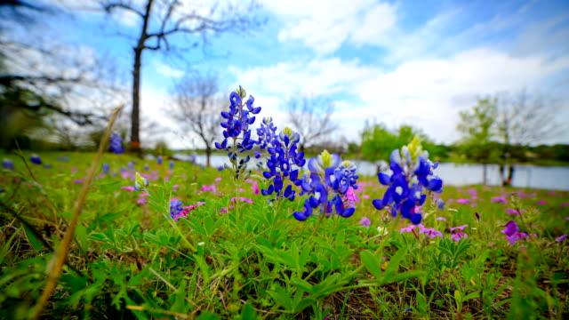 Bluebonnets from Austin, TX video