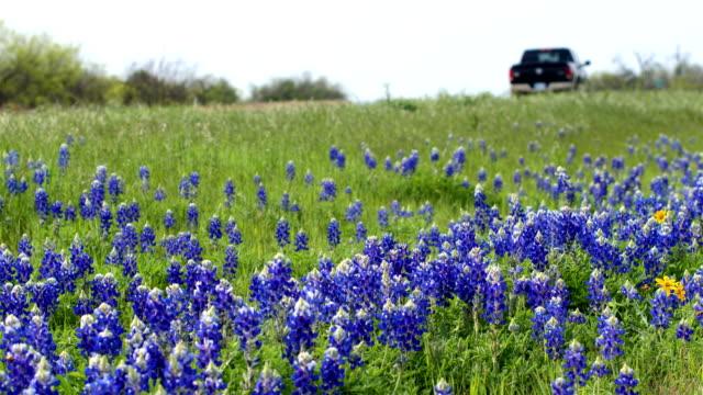 Bluebonnets from Austin, TX