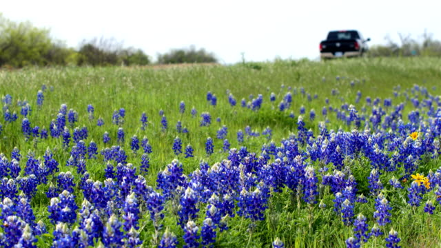 stockvideo's en b-roll-footage met bluebonnets uit austin, tx - texas