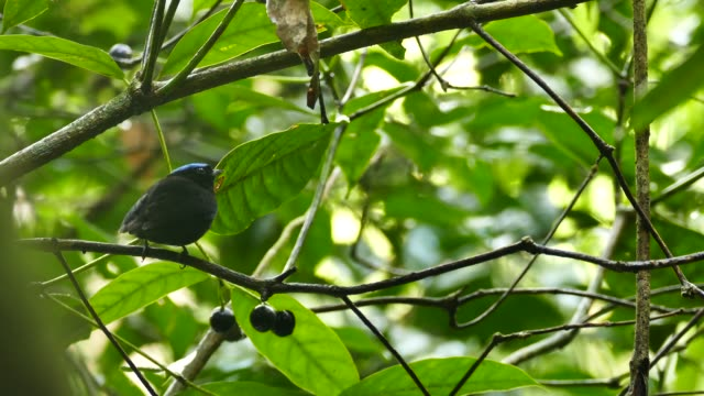 Blue-Crowned Manakin feeding and flying back and forth between fruit and branch