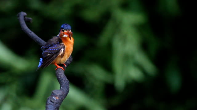 Blued-eared Eisvogel (Alcedo meninting) Frauen – Video