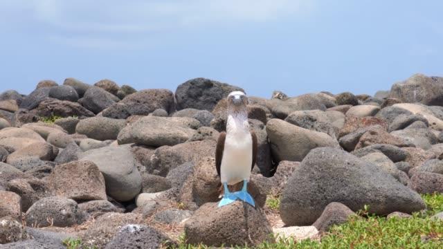 vídeos de stock, filmes e b-roll de booby azul-footed em galápagos - atobá