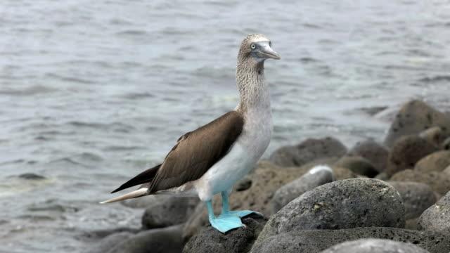 vídeos de stock, filmes e b-roll de patola azuis na costa rochosa da isla de lobos em galápagos - atobá