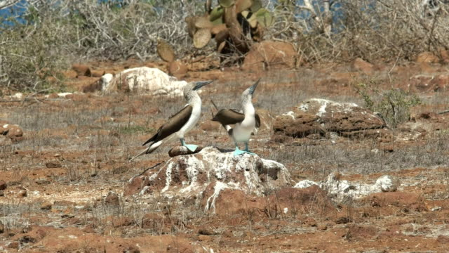 blue-footed booby pair dancing on a rock at nth seymour in the galapagos