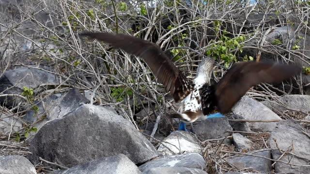 vídeos de stock, filmes e b-roll de sula nebouxi, sula nebouxii, no galápagos - atobá