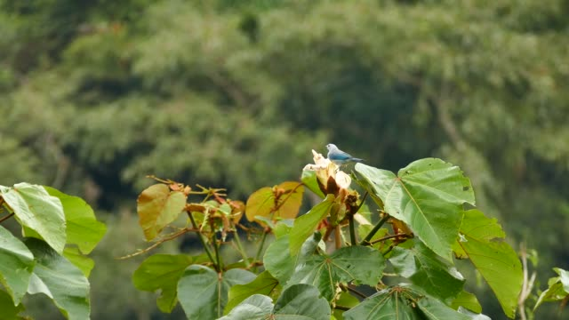 Blue-Gray Tanager feeding in large flower atop a tree with blurry background