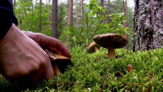 blueing bolete mushroom picking in the forest - höst plocka svamp bildbanksvideor och videomaterial från bakom kulisserna