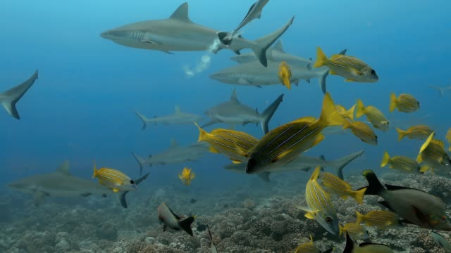 Bluelined snapper fish with sharks in the Pacific Ocean. Underwater life with fishes and sharks swimming near coral reef in the Ocean. Diving in the clear water - 4K