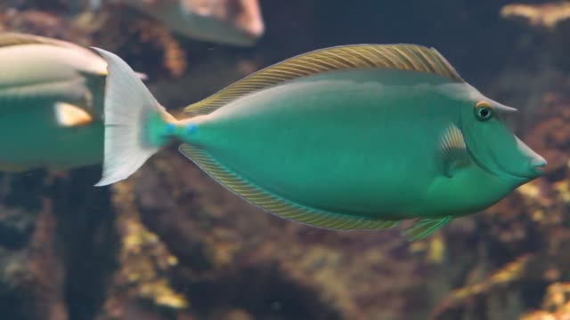 hint-pasifik okyanustan yakın çekim, popüler akvaryum pet, tropikal balık specie bluespine unicorn balık - i̇htiyoloji stok videoları ve detay görüntü çekimi