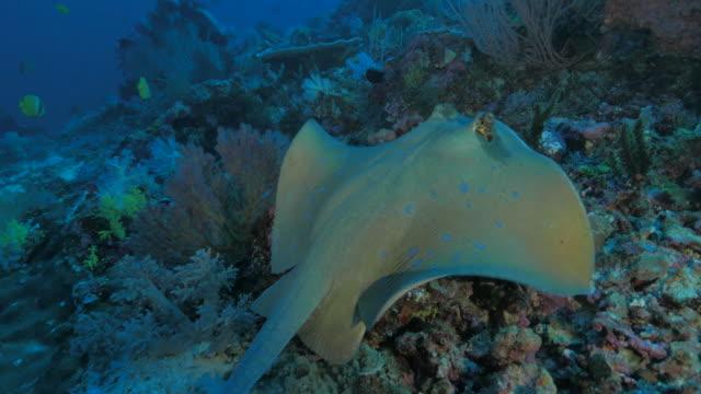 vídeos de stock e filmes b-roll de uge-de natação no recife de coral - uge