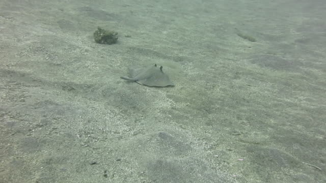 vídeos de stock e filmes b-roll de bluespotted stingray swimming over sandy bottom - uge