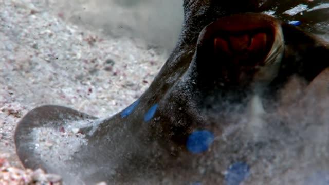 vídeos de stock e filmes b-roll de bluespotted stingray taeniura lumma hiding in sand underwater red sea. - uge