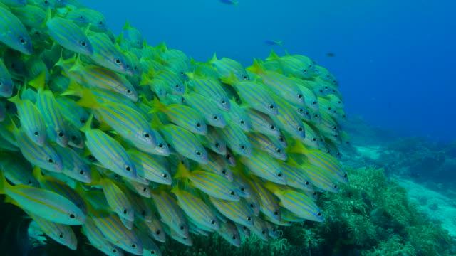 bluestripe snapper fish (bluelined) schooling in reef - луциан стоковые видео и кадры b-roll