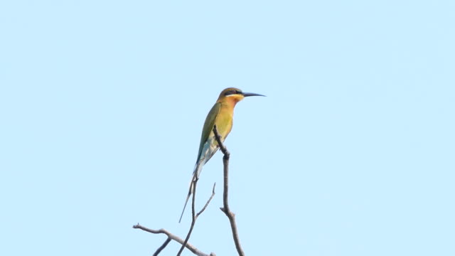 Blue-tailed bee-eater bird in tropical rain forest. Blue-tailed bee-eater bird (Merops philippinus) on branch in tropical rain forest. animal body stock videos & royalty-free footage