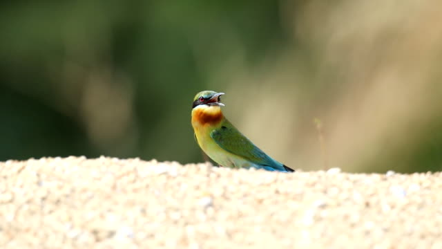 Blue-tailed bee-eater video