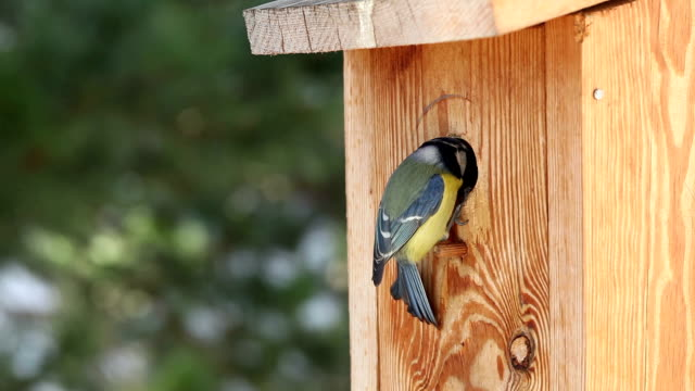 Bluetit video