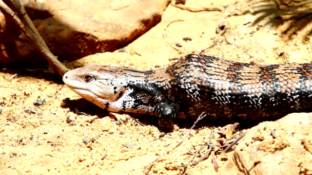 Blue-tongued skink Blue-tongued skink is in nature. skink stock videos & royalty-free footage
